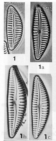 Cymbella hustedtii LECTOTYPE