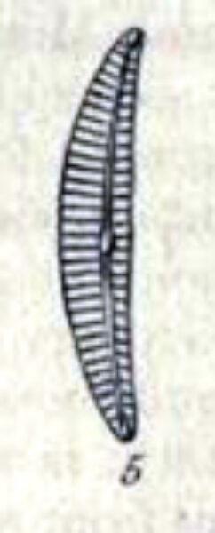 Cymbella lunata orig illus 2
