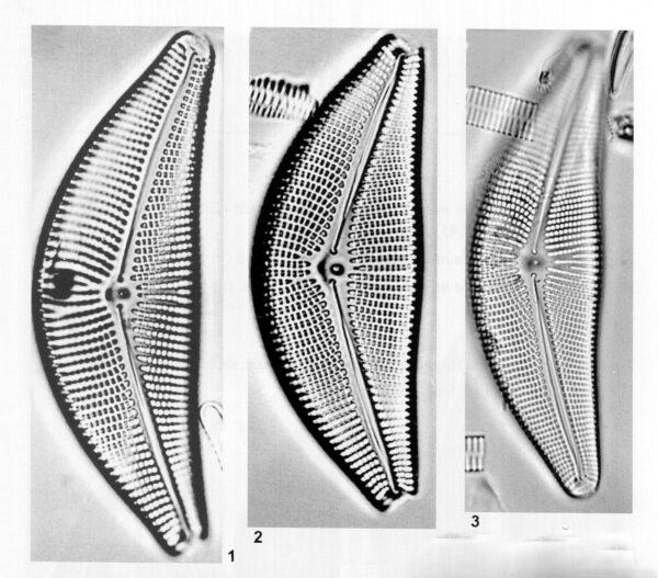 Cymbella mexicana var. kamtschatica orig illus