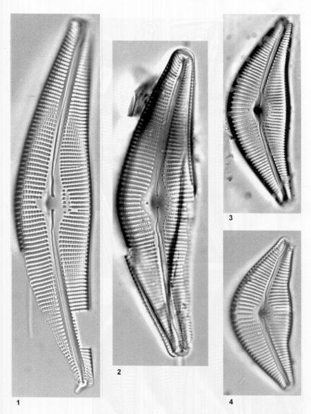 Cymbella perfossilis orig illus
