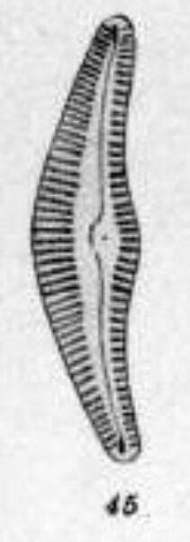 Cymbella stigmaphora orig illus