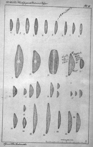 Cymbella subaequalis orig illus
