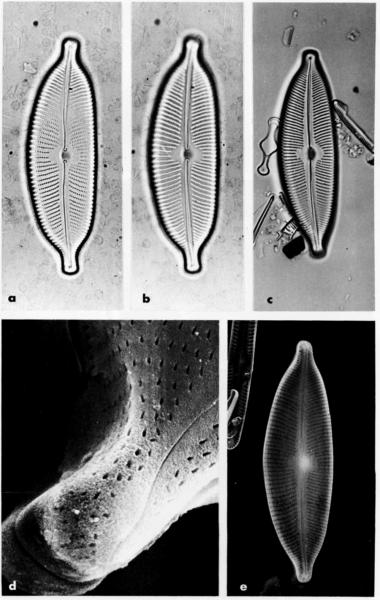 Cymbella subcuspidata orig illus 2