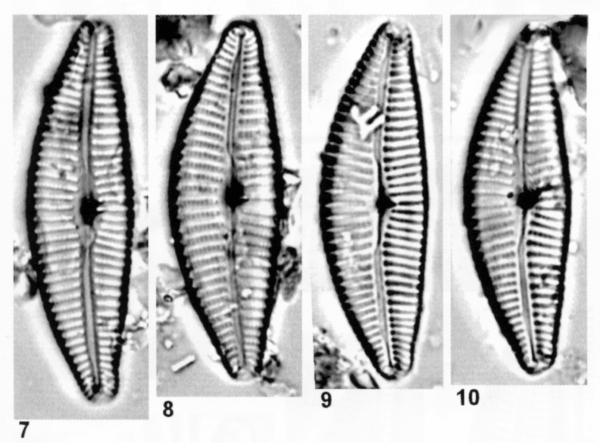 Cymbella tropica orig illus