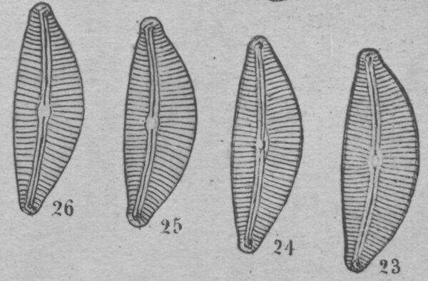 Cymbella turgidula orig illus