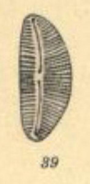 Cymbella compacta orig illus