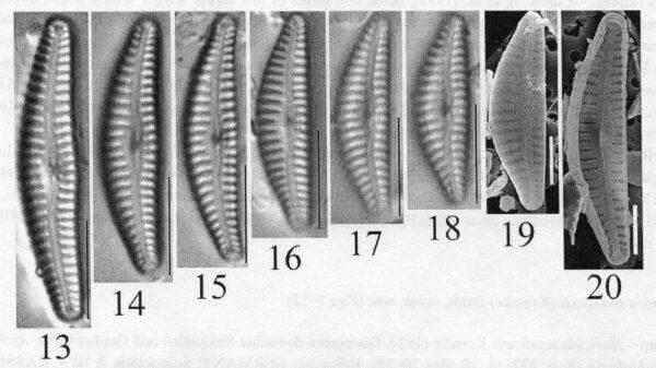 Cymbella cosleyi orig illus