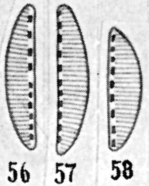 Cymbellonitzschia diluviana orig illus