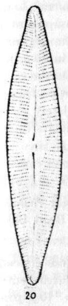 Cymbella rainierensis orig illus
