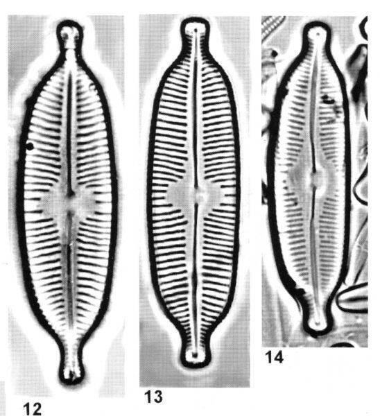Cymbopleura elliptica orig illus