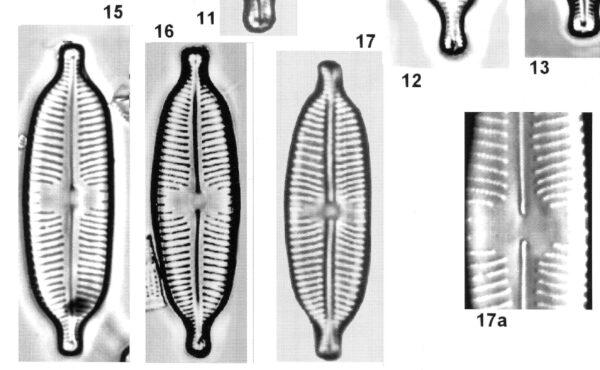 Cymbopleura elliptica orig illus 2