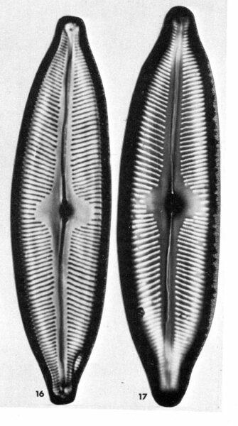 Cymbella tynnii orig illus