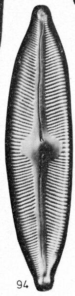 Cymbella pseudocuspidatai orig illus 2