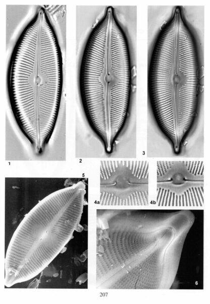 Cymbopleura apiculata orig illus