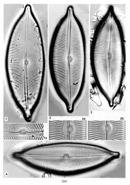 Cymbopleura apiculata orig illus 2