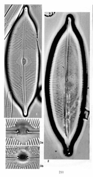 Cymbopleura apiculata orig illus 3