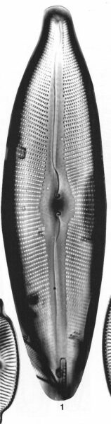 Cymbopleura heinii orig illus
