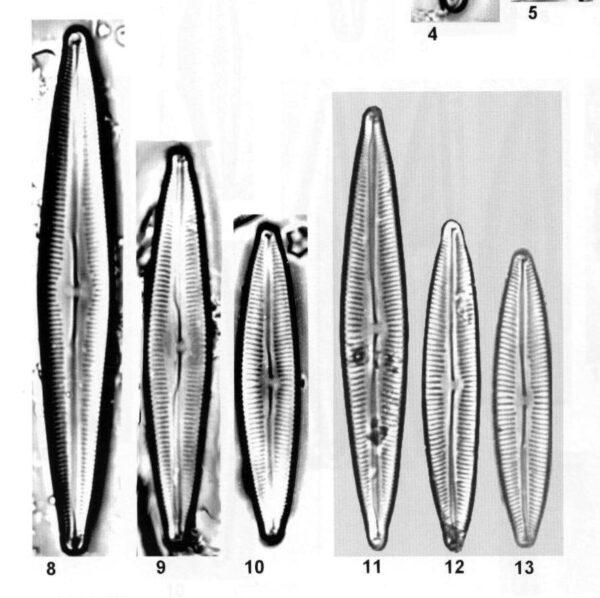 Cymbopleura metzeltinii orig illus