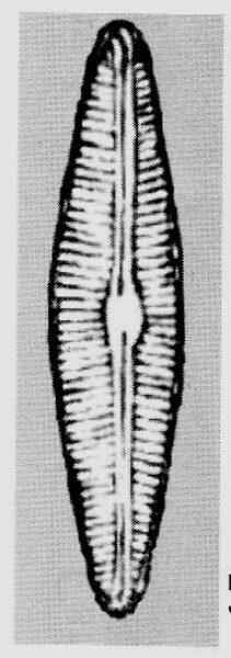 Cymbopleura florentina orig illus
