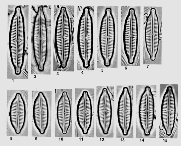 Cymbopleura frequens orig illus 3
