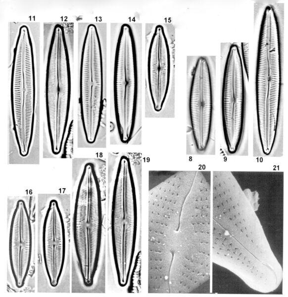 Cymbopleura incertiformis orig illus