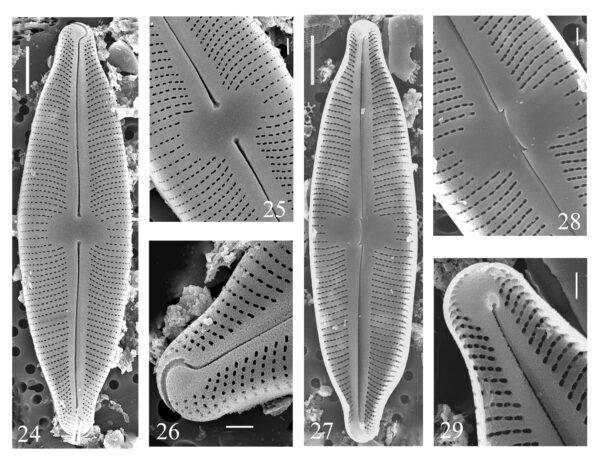 Cymbopleura Laszlorum Orgig Imag 3