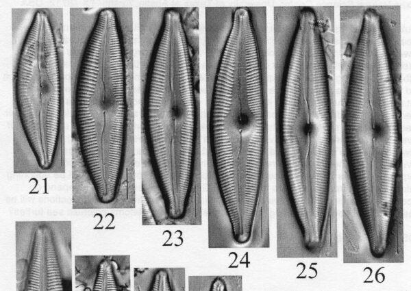 Cymbopleura edlundii orig illus