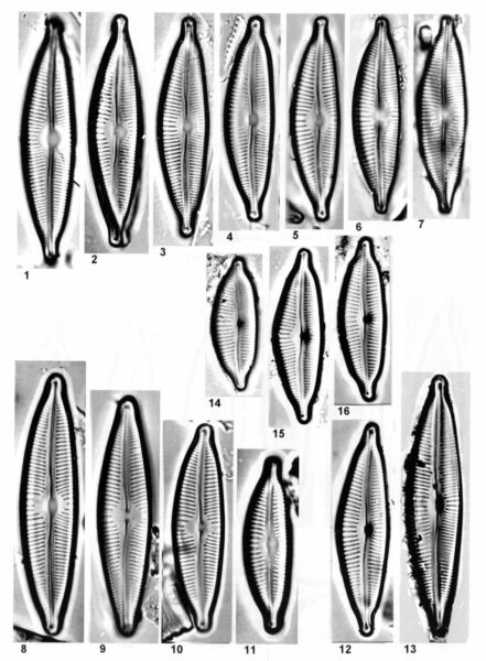 Cymbopleura sublanceolata orig illus