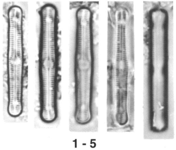 Diadesmis pantropica orig illus