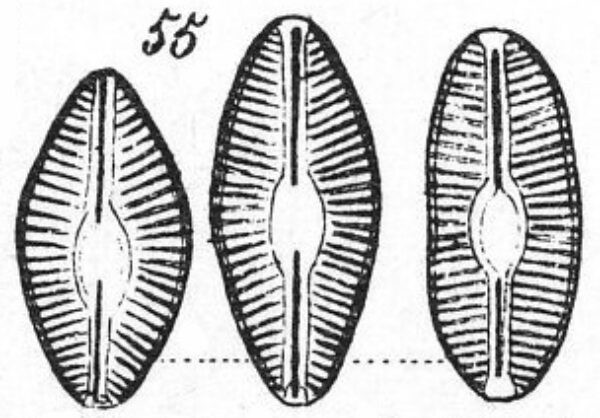 Diploneia elliptica orig illus