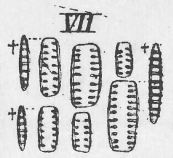 Denticula tenuis orig illus