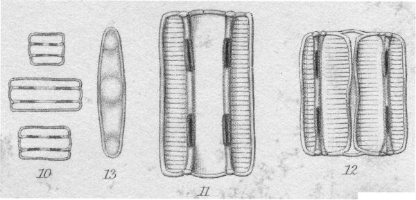 Diatomella balfouriana orig illus