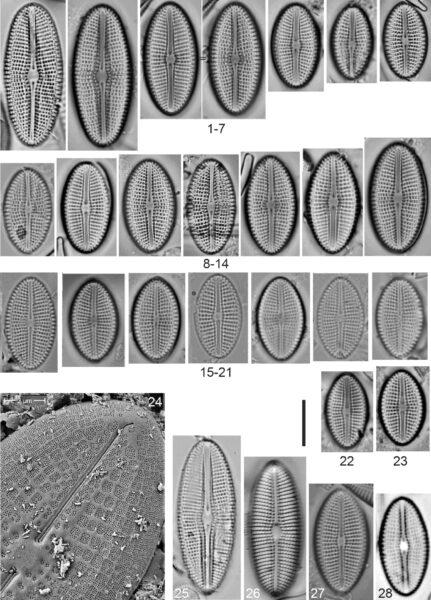Diploneis calcicolafrequens Orig Illus