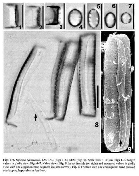 Diprora Haenaenisis Orig Illus1