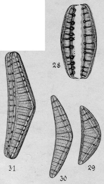 Epithemia reicheltii orig illus