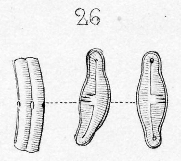 Eucocconeis alpestris orig illus 2