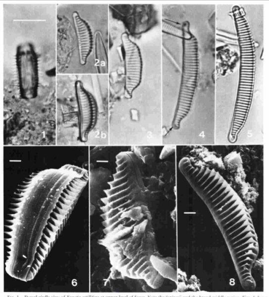 Eunotia catillifera orig illus
