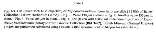 Eupodiscus radiatus orig desc