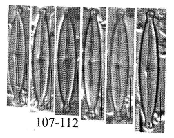 Encyonopsis czarneckii orig illus