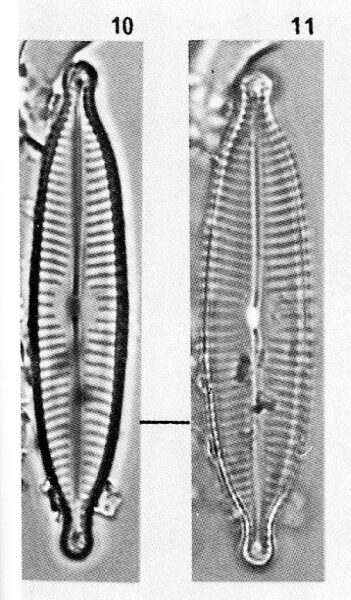 Navicula descripta orig illus