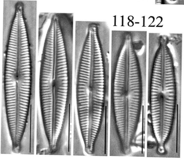 Encyonopsis descriptiformis orig illus