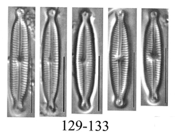 Encyonopsis hustedtii orig illus