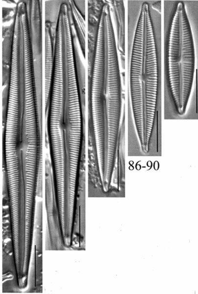 Encyonopsis montana orig illus