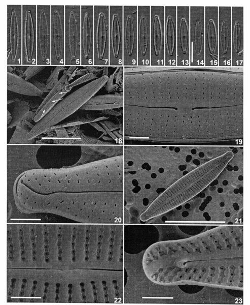 Encyonopsis neerlandica orig illus