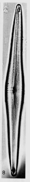 Encyonopsis subspicula orig illus