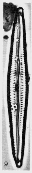 Encyonopsis subspicula orig illus 2