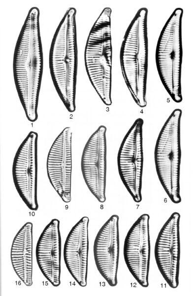 Encyonema lange-bertalotii orig illus