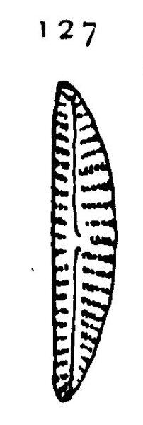 Cymbella paucistriata orig illus