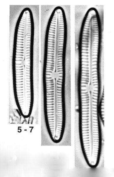 Encyonema sibericum orig illus
