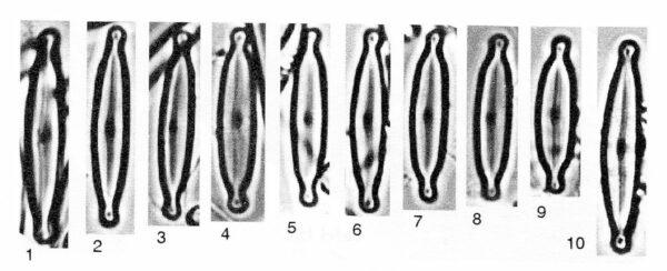 Encyonopsis alpina orig illus 2
